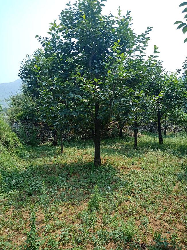 柿子树价格多少钱一棵?柿子树种植方法有哪些?