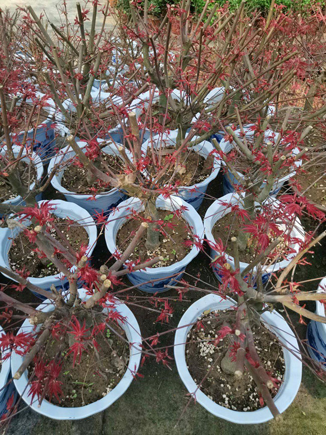红枫价格表多少钱一棵?红枫表的种植技术
