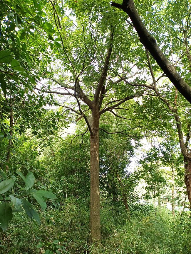 樸樹價格表多少錢一棵?樸樹苗種植方法有哪些?