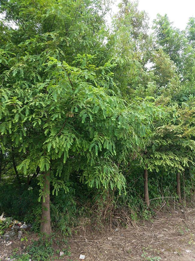 水杉树价格多少钱一棵?水杉树如何种植?