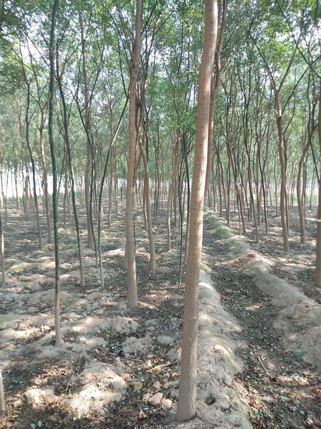 国槐树价格表多少钱一棵?国槐树表种植方法和注意事项