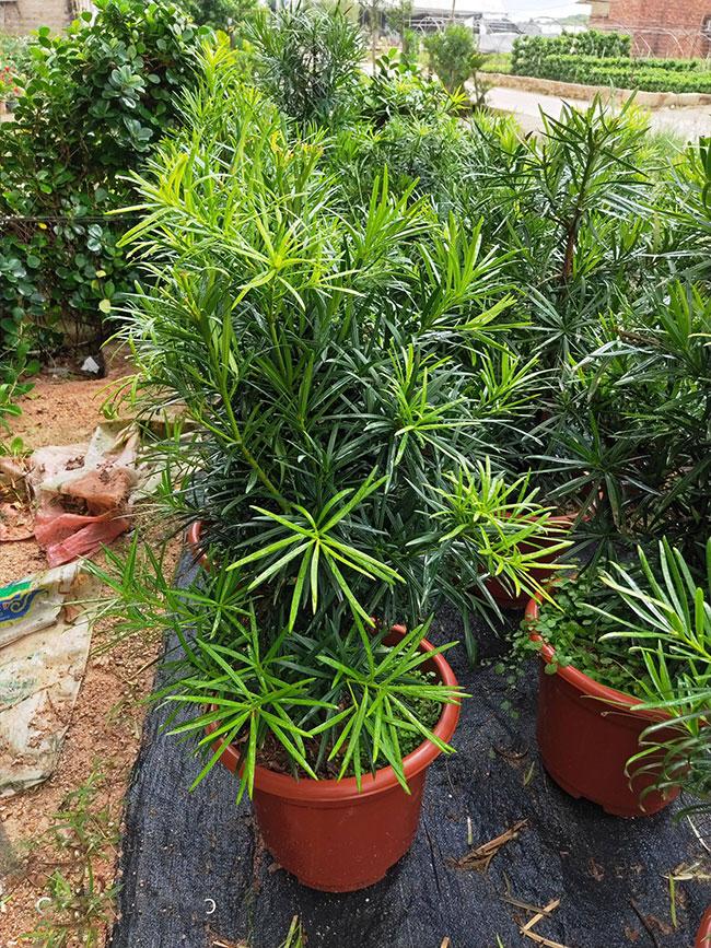 罗汉松小苗价格多少钱一棵?罗汉松种植方法和注意事项