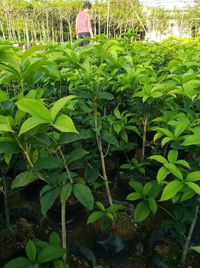 大桂花树价格表多少钱一棵?大桂花树的种植技术