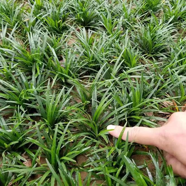 日本矮麦冬