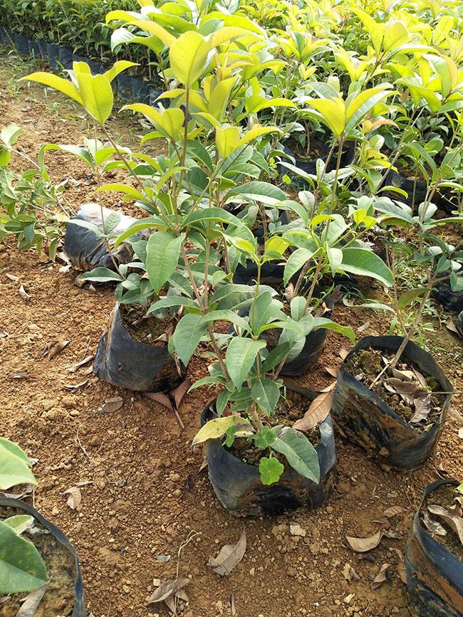 桂花价格表多少钱一棵?桂花种植方法有哪些?