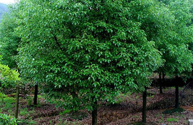 香樟小苗价格行情,香樟树种植方法