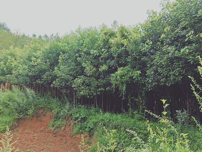 香樟苗价格多少钱一棵?香樟苗种植方法和注意事项
