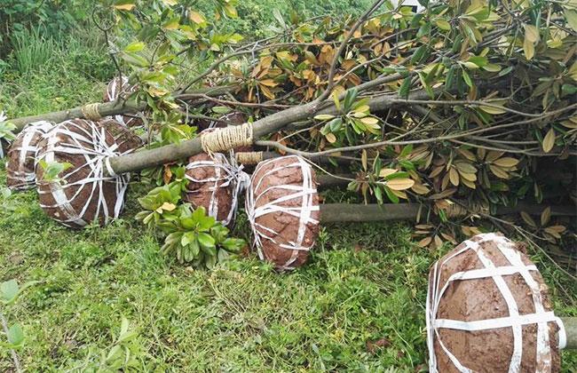 广玉兰树价格多少钱一棵?广玉兰树的种植技术