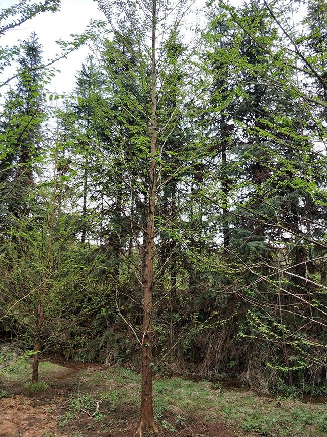 水杉树苗价格多少钱一棵?水杉树苗种植方法有哪些?