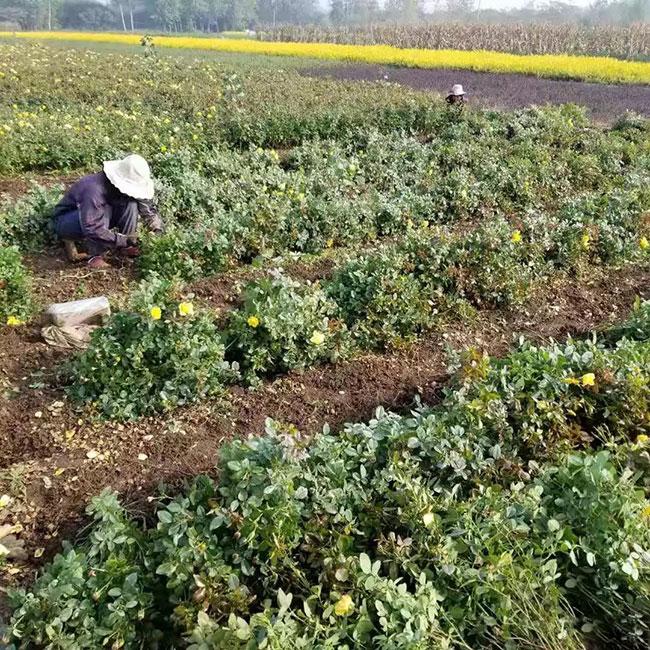 营养钵月季价格多少钱一棵?营养钵月季如何种植?