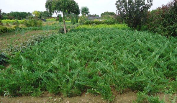 沙地柏价格多少钱一棵?沙地柏的种植技术