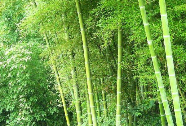 刚竹价格多少钱一棵?刚竹如何种植?