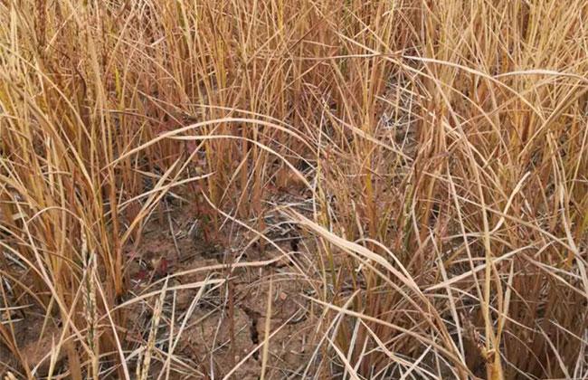 安徽旱情形势严峻 苗木受灾严重
