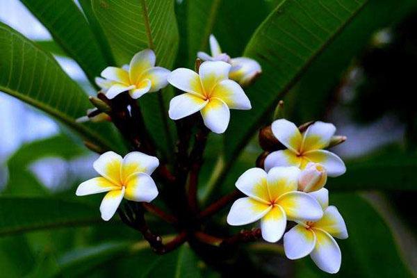 鸡蛋花盆栽的培育方法,鸡蛋花怎样养开花多?