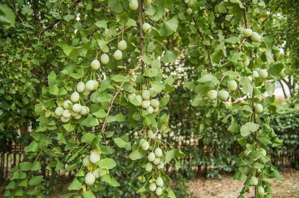 白果价格多少钱一棵?白果的种植方法