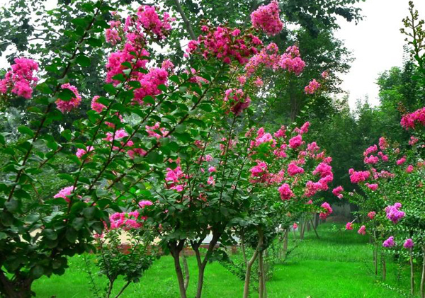 百日红苗木价格多少钱一棵?百日红如何种植?