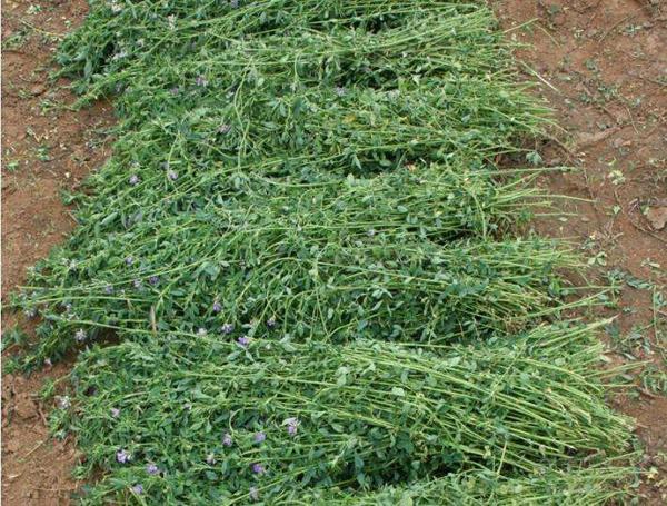 苜蓿种子价格多少钱一斤?苜蓿种子种植方法和注意事项