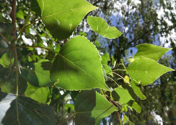 杨树价格多少钱一棵?杨树种植方法有哪些?