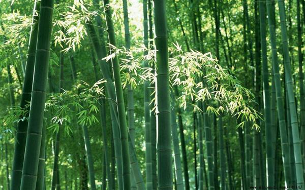毛竹价格多少钱一棵?毛竹如何种植?