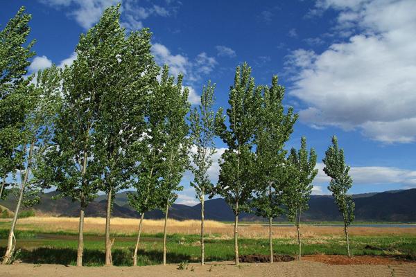 白杨树价格多少钱一棵?白杨树种植方法和注意事项