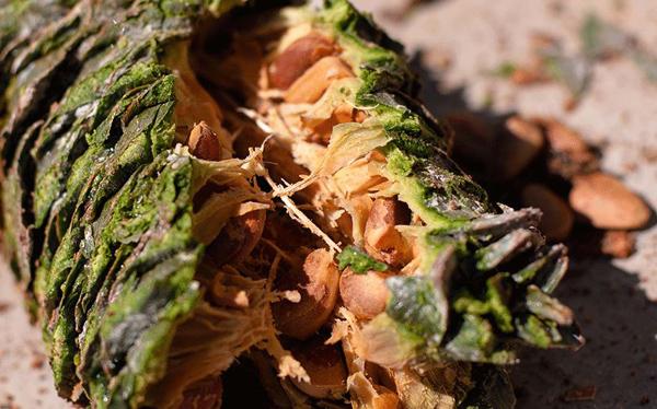 松子的市场价格和种植前景分析