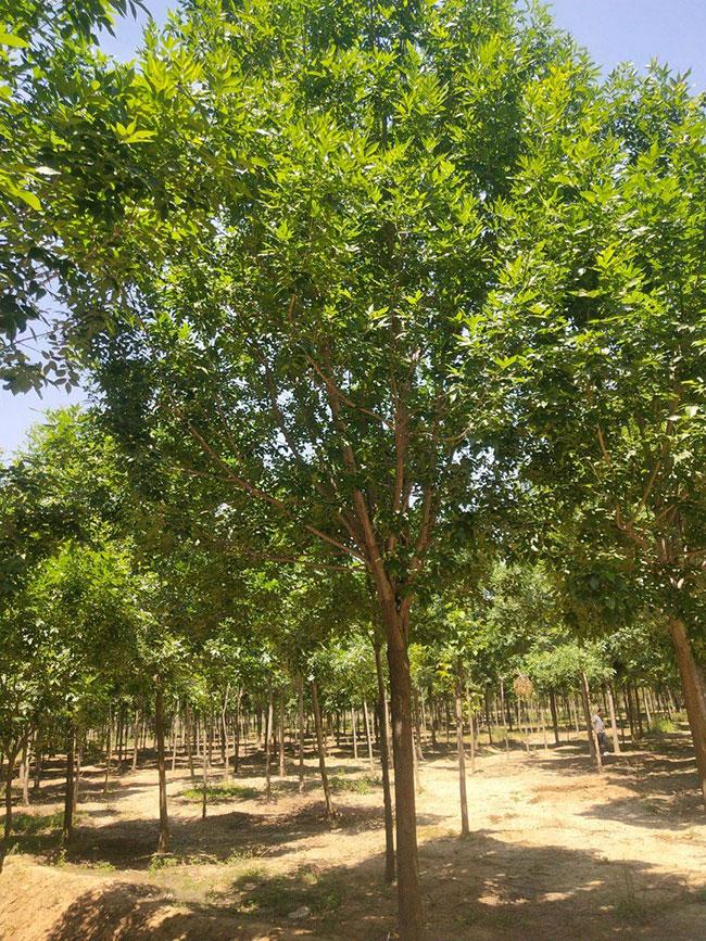 白蜡树的种植前景如何