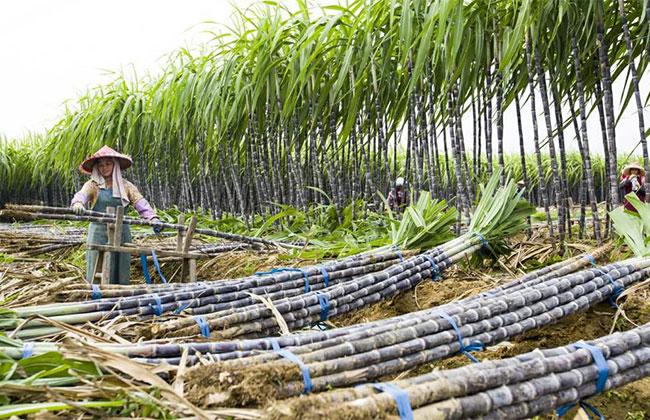 甘蔗亩产量多少?甘蔗经济效益怎么样?