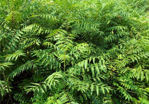香椿树价格多少钱一棵?香椿树的种植方法