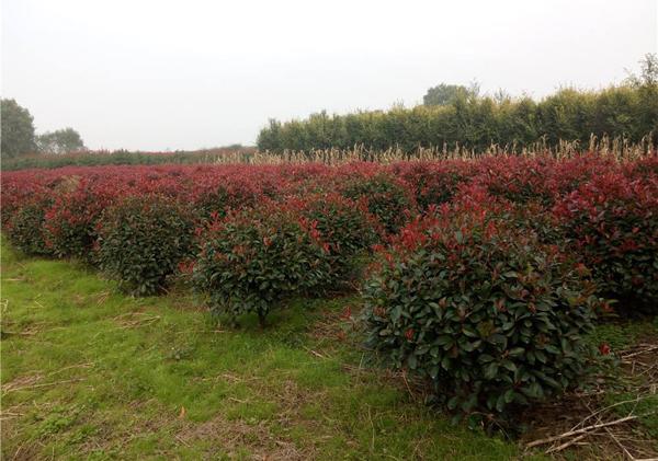 红叶石楠价格表多少钱一棵?红叶石楠种植方法有哪些?