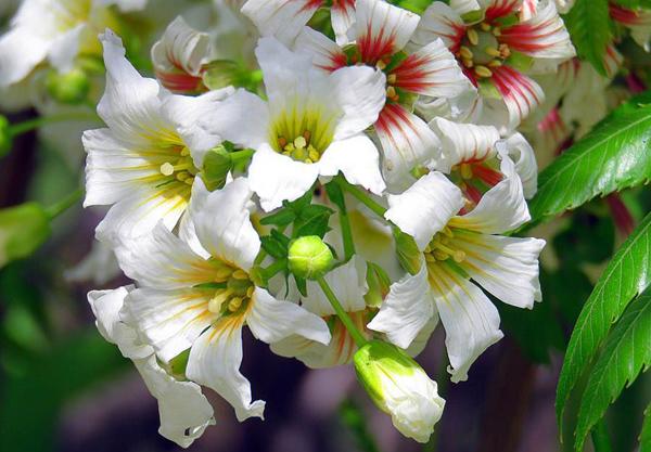 文冠果价格多少钱一棵?文冠果种植方法有哪些?