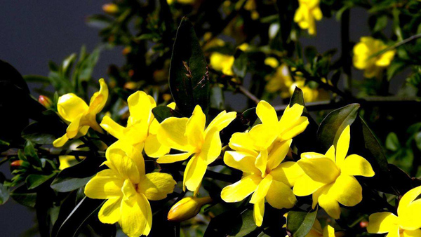 迎春花价格多少钱一棵?迎春花如何种植?