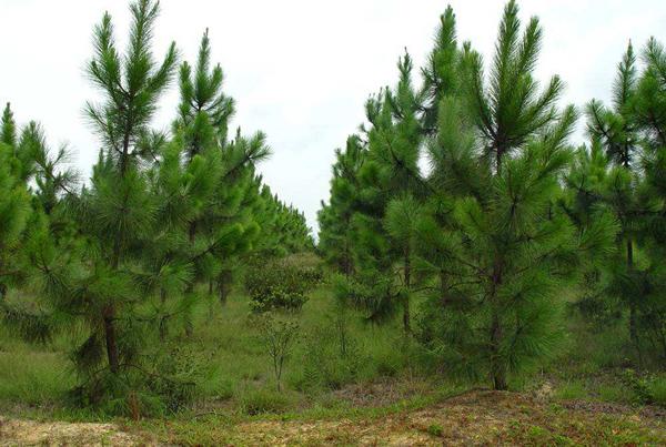 湿地松价格多少钱一棵?湿地松种植方法和注意事项