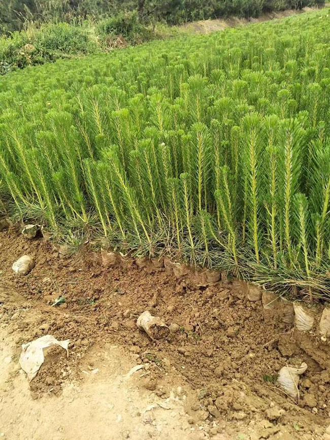 黑松小苗价格多少钱一棵?黑松种植方法有哪些?