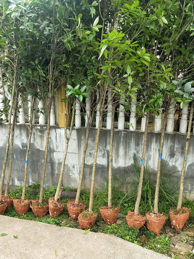 四季桂价格多少钱一棵?四季桂种植方法有哪些?