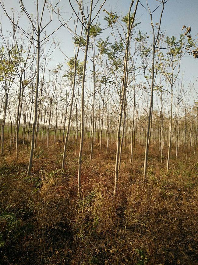 香椿树种子价格多少钱一棵?香椿树种子种植方法和注意事项