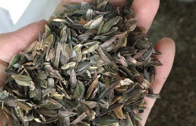 百日草种子多少钱一斤?2020年百日草种子价格行情预测