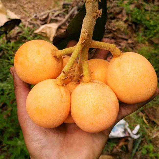 枇杷树苗价格多少钱一棵?市场最新枇杷小苗价格行情