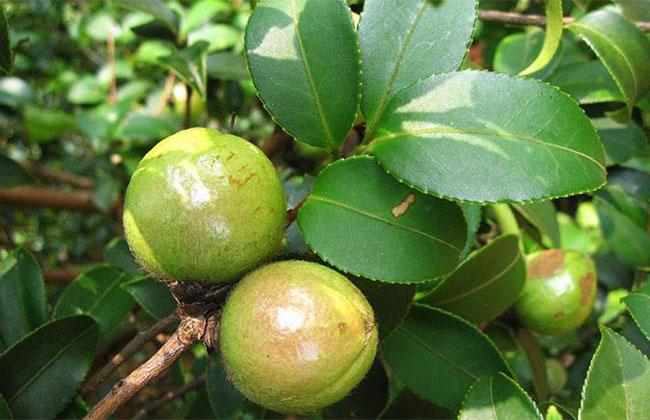 广西油茶产业十年转型崛起之路