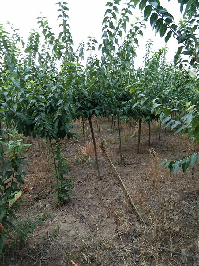 腊梅树小苗价格行情最新盆栽腊梅价格表