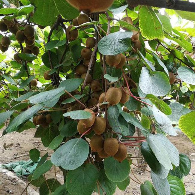 猕猴桃树苗价格多少钱一棵?猕猴桃还有发展前景吗?