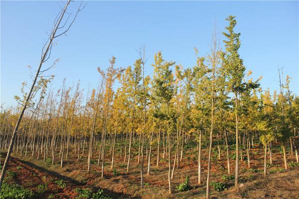 银杏树多少钱一棵?2020年银杏树价格行情