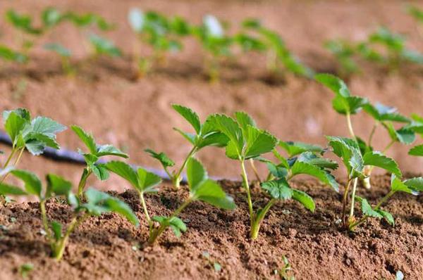 草莓苗多少钱一棵?2020年草莓苗价格行情