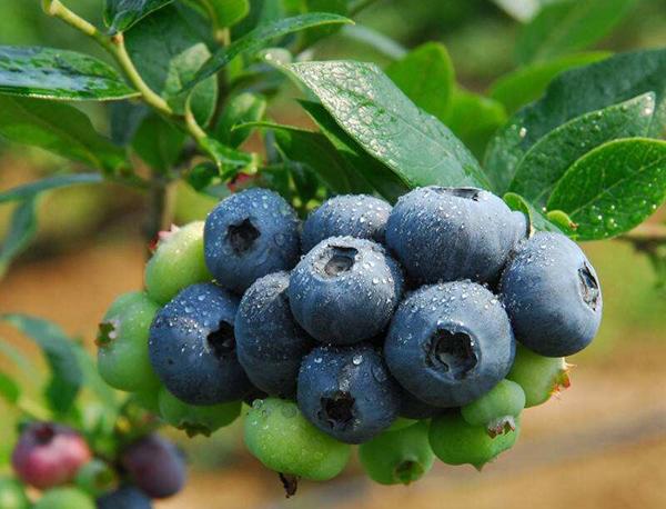 蓝莓苗多少钱一棵?2020年蓝莓苗价格行情