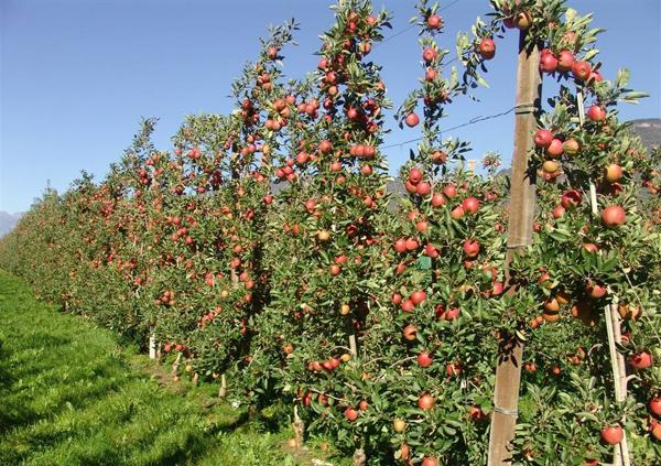 苹果树苗多少钱一棵?2020年苹果树苗价格行情