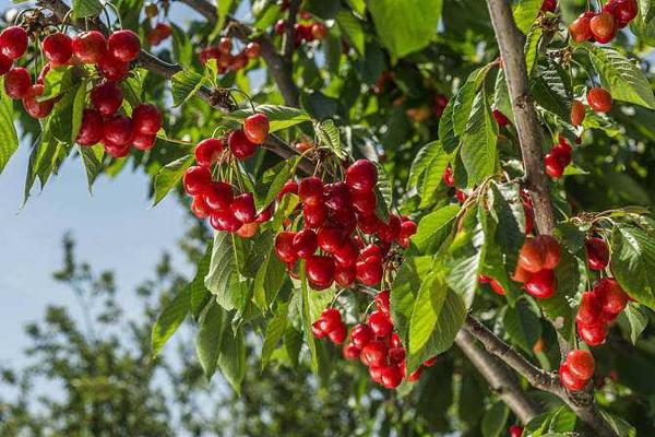 樱桃树苗多少钱一棵?2020年樱桃树苗价格行情