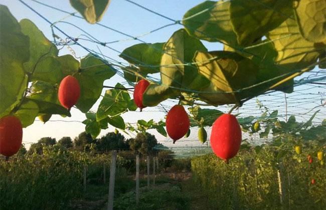 红香果种植前景怎么样?