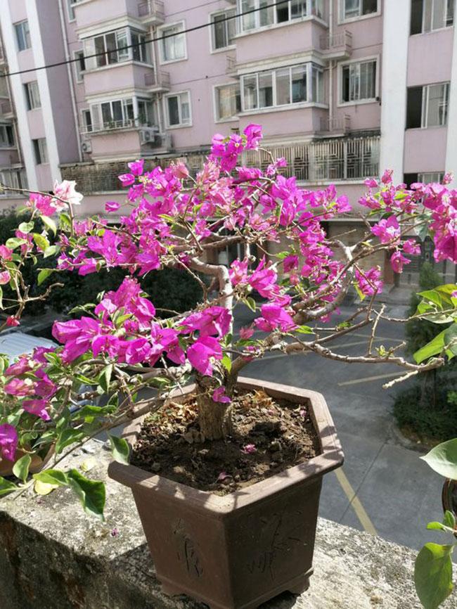 三角梅的冬季种植方法和技术
