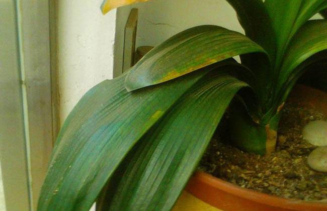 种植君子兰用什么花盆?