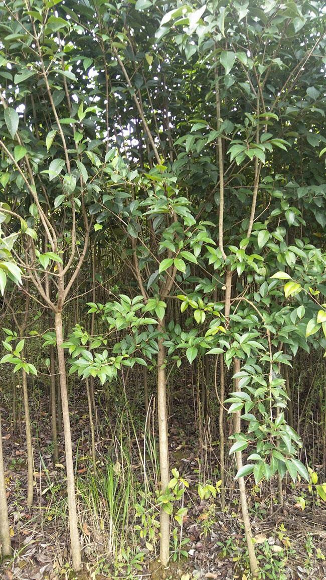 大叶女贞树怎么种植?大叶女贞栽培种植技术分享