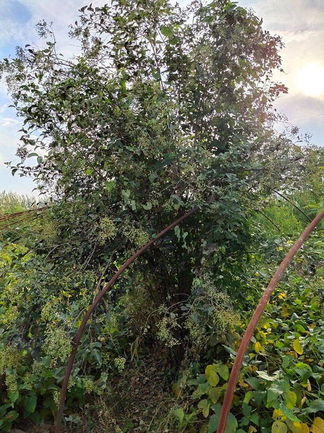 大叶女贞好种植吗?大叶女贞树种植季节注意事项